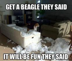 Get a Beagle they said ...  http://beartales.me/2013/01/26/get-a-beagle-they-said/: Animals, Dogs, They Said, Pets, Beagles, Funny Stuff, Funnies, Funny Animal