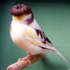 Gloster Canary - I would get four and name them after the beatles: Animals, Bowl Haircuts, Where S Larry, Birdie, Hair Style, Beautiful Birds, Gloster Canary, Larry Curly