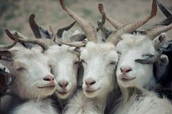 : Goats, Animals, Selfies, Friends, Girl, Creature, Funny, Sheep, Photo