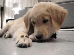 "| Golden Retriever Puppy Told to ""Leave It"" 
