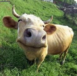 Google Image Result for http://kikirikipics.com/wp-content/uploads/2012/02/Happy-Animals-24.jpg: Farm, Animals, Smiling Cow, Happy Cow, Funny Animal, Smile, Cows