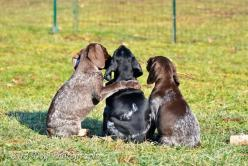 GSP Puppy sandwich!  #GSP #Germanshorthairedpointers #GSPpuppies  Adventures of a GSP Hunting Dog: Pupdate: And Then There Was One and She was Wild: Gsp Puppies, German Shorthair, Hunting Dogs, Gsp Hunting, Gsp Puppy, Puppy Sandwich, Gsp Dogs, Gsp S
