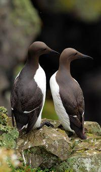 Guillemots on Skomer: essentially monogamous but regularly unfaithful. S.E.Wales - Photograph: Dimitris Legakis/D Legakis Photography/Athena: Birds Birds, Artsy Birds, Hello 26 5 2013, Legakis Photography Athena, Guillemots Alcidae, Animals Birds Butterfl