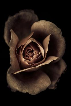gyclli:  One last kiss before bed…this one flavored with cocoa powder and strawberry.  by alan shapiro photography: Chocolate Rose, Color, Art, Roses, Brown Rose, Flowers, Alan Shapiro, Photography, Black