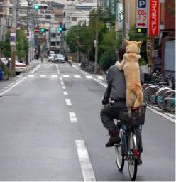 Hahaha! If only I could get my dog to do this :) : Animals, Best Friends, Shiba Inu, Dogs, Pet, Funny, Bicycle