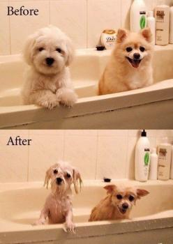 Hahahaha this is pretty much how my dogs look like at bath time....same breeds just different colors...: Animals, Before After, Dogs, Pets, Funny, Puppy, Bath Time