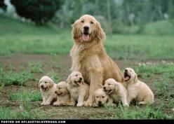 Happy Golden Retriever Puppies - A Place to Love Dogs: Animals, Dogs, Mother, Golden Retrievers, Family Portraits, Puppys, Happy Golden, Goldenretrievers Puppies, Golden Retriever Puppies