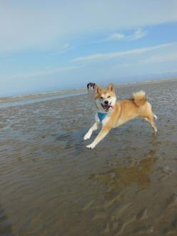 Happy shiba inu: Beaches, Beach Day, Shiba Inu, Happy Dogs, The Beach, Ando Beach, Animal, Shibainu