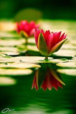 Have a Mindful eye for the beauty that come on your path♡: Beautiful Flower, Reflection, Nature, Lotus Flowers, Waterlilies, Water Lily, Garden, Water Lilies, Flower
