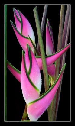 "Heliconia  'Eden Pink"" - great idea for a more contemporary pattern - not like the usual floral - more architectural: Orthotricha Eden, Idea, Unique Flower, Beautiful Flowers, Pink And Green Heliconia, Pink And Green Helaconia, Garden"