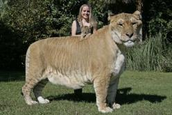 Hercules, the largest living cat on Earth, weighs over 904lbs with cub Aries.: Ligers, Wild, Big Cats, Animals, Animal Kingdom, Creatures, Tigers, Male Lion, Cross