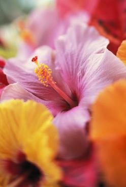 Hibiscus Flower Arrangement Photograph  - Hibiscus Flower Arrangement Fine Art Print: Color, Tropical, Hibiscus Flowers, Plants, Flower Arrangements, Beautiful Flowers, Bloom, Garden, Hawaii