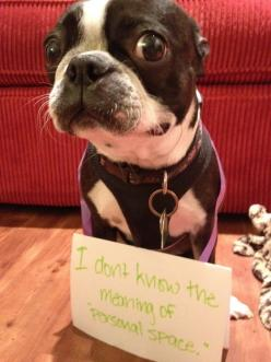 Hilarious and true! This is Zoeys problem too!: Dog Shaming, Dogs, Personal Space, So True, Boston Terriers, Animal