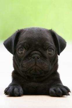how fun would it be to wake up with that looking at you lol too cute!: Animals, Pug Puppies, Dogs, Pets, Puppys, Pugs, Black Pug, Baby