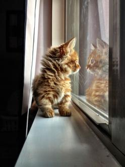 http://cybergata.tumblr.com/post/47144995297: Kitty Cats, Sweet, Fluffy Kitten, Adorable Animals, Meow, Window, Cats Gatos Chat, Box, Kittens