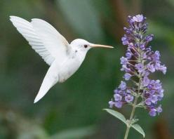 .: Humming Birds, Animals, Nature, Beautiful Birds, Garden, Albino Hummingbird, White Hummingbird, Hummingbirds