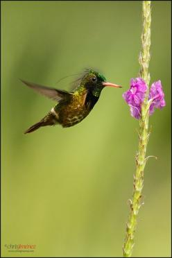 Hummingbird - Black-crested Coquette (Lophornis helenae) feeding from flowers at Braulio Carillo National Park, Costa Rica. °: Colibris Hummingbirds, B Z Coquette Hummingbirds, Photo, Flower, Humming Bird, Animal, Birds Hummingbirds