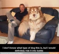 Humour animal, humor dogs, funny pics, hilariousness …For more funny pictures and hilarious humor visit www.bestfunnyjokes4u.com/rofl-funny-pic-of-the-day-8/: Animals, Stuff, Pet, Malamute, Funny, Big Dogs, Bigdog