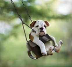 Hybrid vigour or heterosis with mixed breed dogs such as Labradoodles: Animals, Bulldogs, So Cute, Swings, Pets, Puppy, Smile