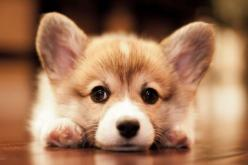 I'm just a corgi contemplating corgi life things.: Corgis, Welsh Corgi, Pet, Corgi Puppies, Puppys, Dog, Photo, Animal
