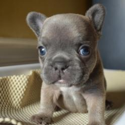 I can't decide if he's cute or creepy. Your vote.: Animals, French Bulldogs, Pet, Frenchbulldogs, Box, Baby, Frenchie, French Bulldog Puppies