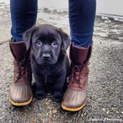 I couldn't decide if this should go on my style board for the boots, or Can I keep it? for the adorable pup. So I decided Love & Life because both.: Animals, Dogs, Puppys, Lab Puppies, Box, Labrador, Black Labs, Bean Boot