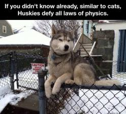 "I did not know about this until now. I am now left intrigued and wish to know more about these ""gravity-defying"" huskies! :D: Cats, Fence, Animals, Dogs, Pet, Husky, Funnies, Funny Animal"