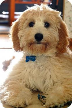 I don't even know what board to put this on but it's too adorbz to not be repinned!!!: Doggie, Dogs, Sweet, Pet, Puppy, Goldendoodle, Animal