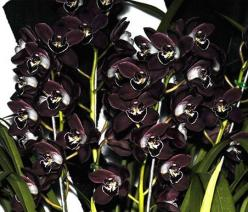 I had a cymbidium like this - black samba, I believe. It never bloomed. I guess they almost NEVER do in Colorado.: Black Orchids, Orchid, Black Champion, Black Flowers, Blackorchids, Black Plants, Garden, Orquidea