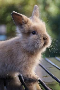 "I had to make a board titled ""Cute things"" just for this picture! baby lionhead rabbit: Baby Lionhead, Animals, Bunbun, Fluffy Bunny, Lionhead Rabbit, Bunnies, Bun Buns"