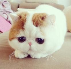 I know this is my puppies board but if I ever got a cat, it would be one of these cats ;): Cats, Animals, Kitten, So Cute, Pet, Exotic Shorthair, Kitty, Eye
