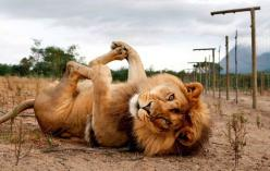 I literally almost just died; this is too adorable.: Baby Pose, Animals, Big Cats, Happy Baby, Bigcats, Funny, Play, Lions, Kitty