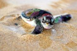 I love baby sea turtles! <3 my favorite.: Babies, Animals, Seaturtles, Nature, Ocean, Baby Turtles, Baby Sea Turtles