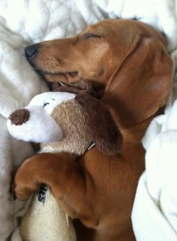 I loves my cuddles.: Animals, Sweet, Dogs, Pet, Doxies, Friend