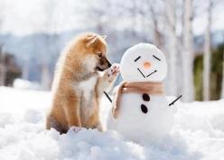I made him all by myself. Okay, I had some help from one of the humans, its hard to roll a snowball without opposable thumbs, but I gave directions.: Animals, Winter, Dogs, Shiba Inu, Pet, Christmas, Snowman, Puppy, Friend