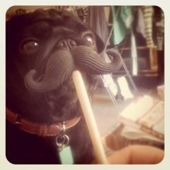 I need to get Sassy a mustache chew toy. Doesn't matter that she's a girl, it would still be hilarious!: Mustache Picoftheday, Pugs, Mustached Pug, Dogstagram Petoftheday, Mustache Pug, Photo, Animal