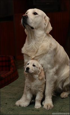 I WANT THEM NOW!!!!!!!!!!!!!!!!!!!!!!!!!!!!!!!!!!!!!!!!!!!!!!!!!!!!!!!!!!!!!!!!!!!!!!!!!!!!!!!!!!!!!!: Animals, Sweet, Dogs, Golden Retrievers, Pets, Puppy, Baby, Its, Friend