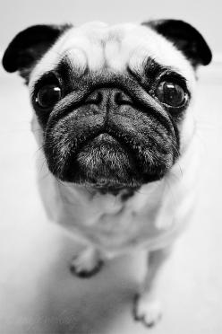 I was definitely put on this earth to love pugs...is that weird? :): Pug Puppie, Pug Mug, Puppies Pug