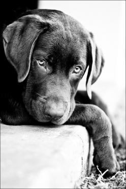 "I will wait for you .. that is what I do for those I love. ""Puppy dog eyes"" by Daniel Bust: Labrador Retriever, Labrador, Animals, Dogs, Pet, Puppy Dog Eyes, Black Labs, Friend"