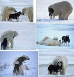 I would never let my pets get this close to a dangerous animal, but this is awfully sweet.: Animals, Sweet, Dogs, Polar Bears, Friendship, Husky, Things, Polarbears, Photo