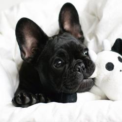 In the News 20.03.15 : Today's Articles of Interest from around the Internets: French Bull Dog, French Bulldogs, Pet, Puppys, Frenchbulldog, Baby, Black Frenchie, Animal