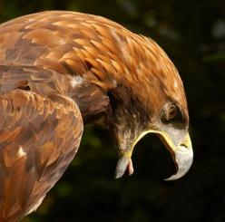 Incredible picture of Eagle: 2Exz Birds П, Golden Eagles, Animal Photography, Beautiful Animals, Animals Mascotas, Beautiful Birds, Angry Birds