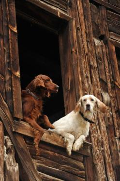IRISH SETTER!! And I believe and English Setter but it could be a Irish Red and White beautiful all the same!: Doggie, Animals, Dogs, Window, Irish Set, Pet, Photo, English Setters, Friend