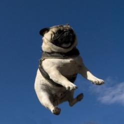 it's a bird! it's a plane! no, it's actually a pug being tossed in the air, but he's really stinking cute.: Animals, Dogs, Pug Life, Funny Pugs, Pet, Airborne Pug, Flying Pug, Funnies