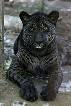 Jahzara is a jaglion who was (unexpectedtly) born of a lion mother and jaguar father. She was discovered on April 9, 2006, at the Bear Creek Wildlife Sanctuary with a brother, Tsunami, who has more of an appearance of a lion with spots -- click for photos