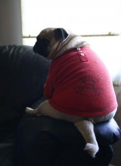 Keep your pugs lean. They breath better and have a better quality of life. Plus when they have an itch they can scratch it when they are thinner. From, The Pug Lover: Pugs ️, 3 Pugs, Dogs, Pugs Lean, Photogenic Animals, Fat Pugs I, Pugs Pugs, Baby Pugs