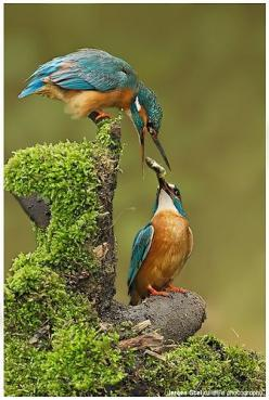 Kingfisher/Kookaburra's Wisdom Includes: Connection to peaceful seas.  Happiness and love.  Peace.  Indifference to surroundings.  Clear vision through emotional waters.  Ability to dive (focus) into emotional waters and catch ones dreams: Flickr, Ani