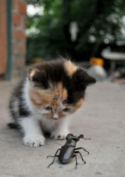 "Kitten: ""Oh Crumbs!  That Beetle Looks Dangerous To Me!"": Cats, My Friend, Animals, Friends, Pets, Funny, Crazy Cat, Kittens, Kitties"