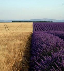 lavender field in provence: Photos, Lavenderfields, Nature, Lavender Fields, Color, Beautiful, Place, Photography, Wheat Fields