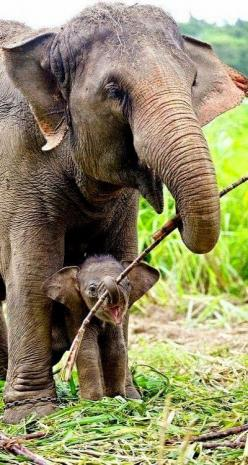 Learning to eat.. (by Supat Sutti on 500px) Please never support zoos and circuses - these exploitive abusers need your cash for the show to go on. Wild animals have the right to be free and wild in their own element.: I M Helping, Babyelephants, Babies,